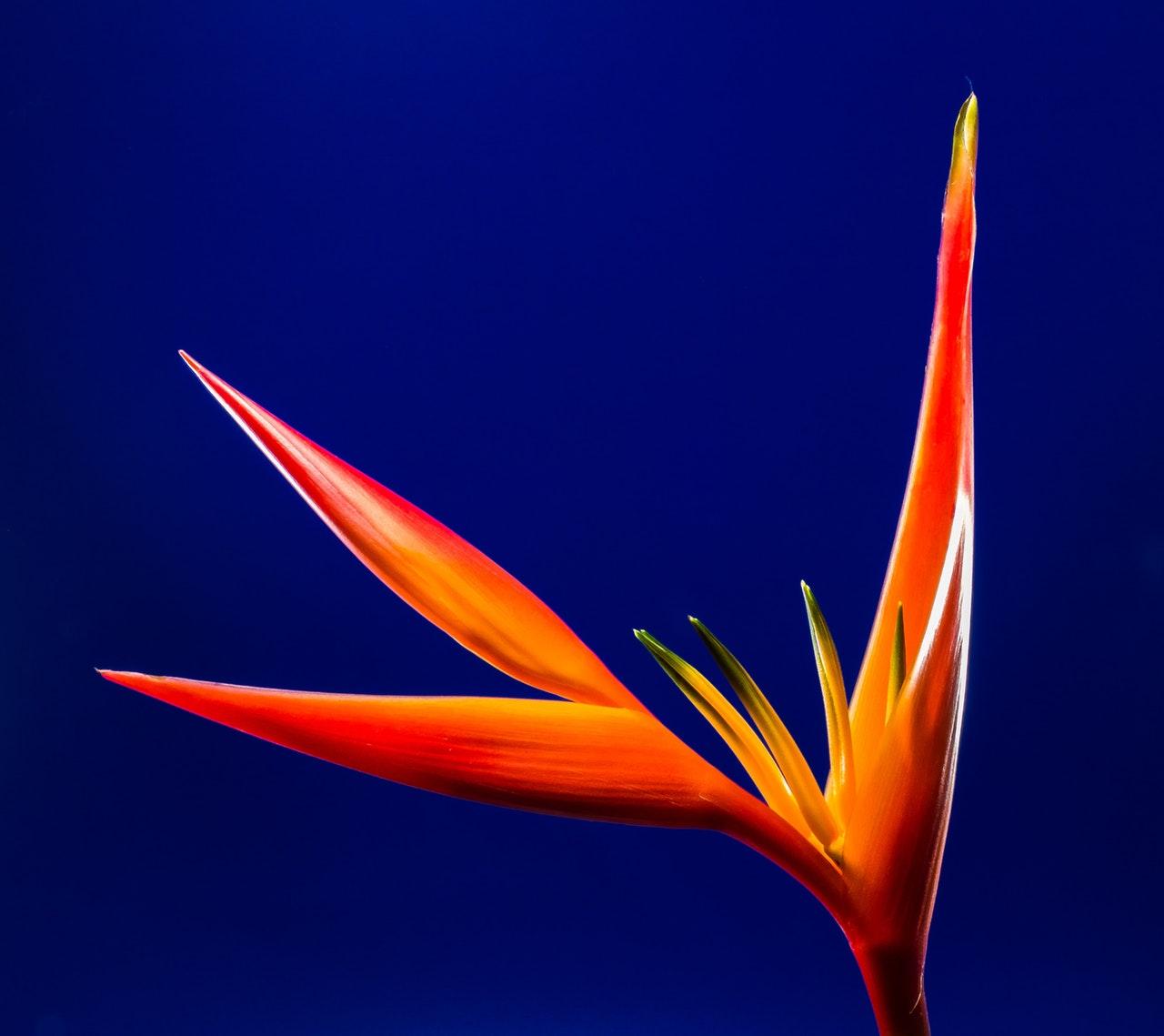 L'émerveillement - oiseau du paradis